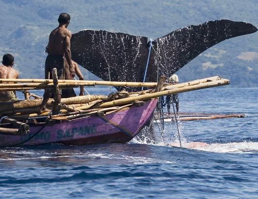 Nelayan Lamalera Tangkap 48 Ekor Ikan Paus