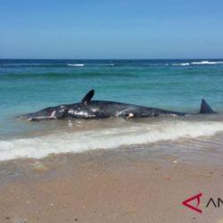 Paus sperma terdampar di pantai Pulau Sabu