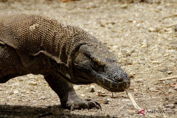 Januari 2020 Pulau Komodo Ditutup