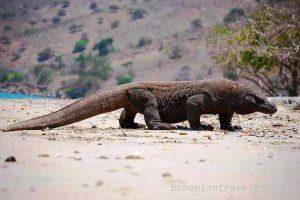 Peneliti Sebut Komodo Berasal dari Australia
