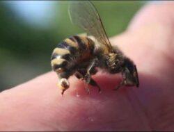 Hendak Cari Buah di Hutan, Bocah 7 Tahun di Belu Tewas Tersengat Lebah